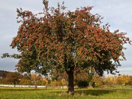 Apfelbaum © Hans-Martin Kochanek