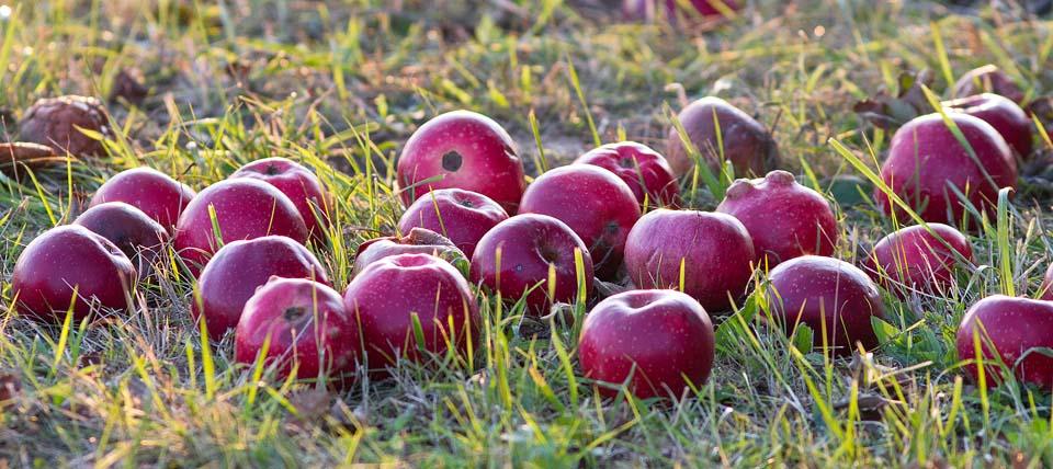 Äpfel im Gras © Hans-Martin Kochanek
