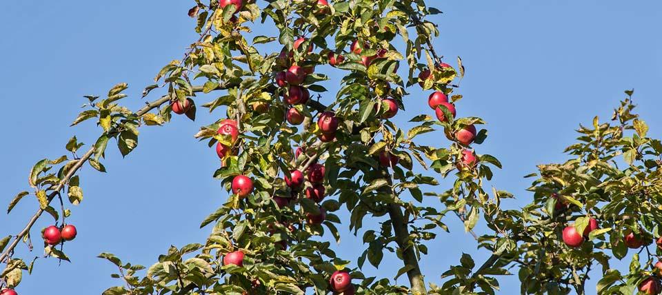 Äpfel am Baum © Hans-Martin Kochanek