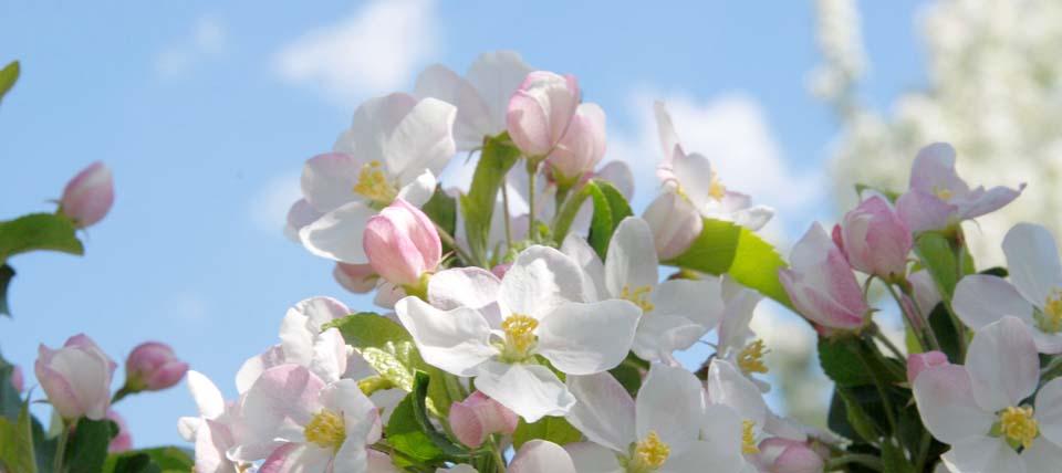 Apfelblüten © NABU-Naturschutzstation Leverkusen-Köln