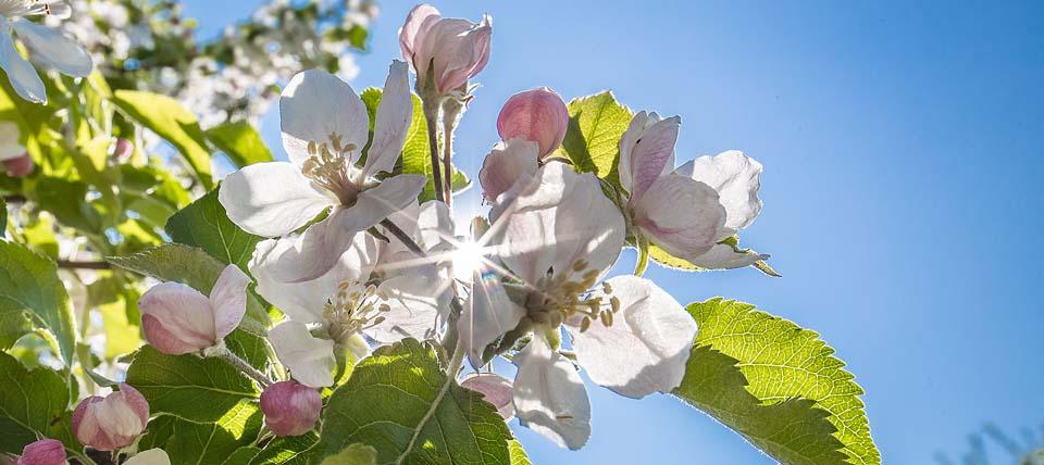 Apfelblüte © Hans-Martin Kochanek